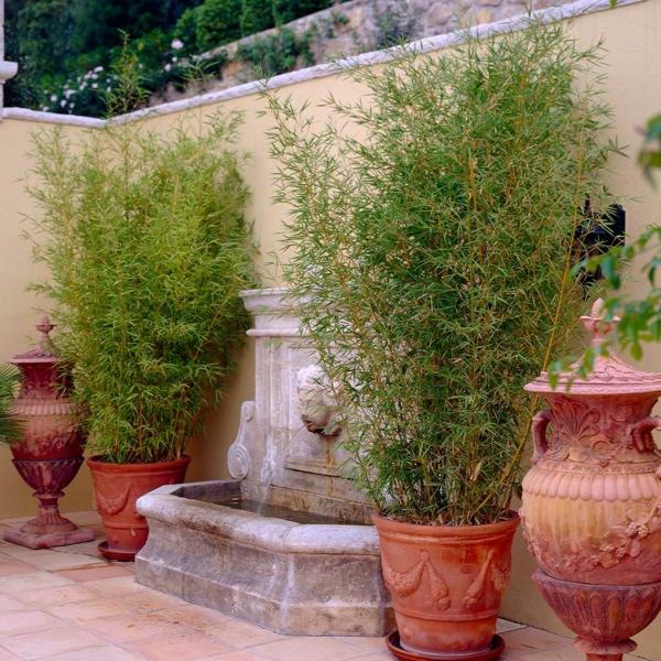 Bambus Phyllostachys aurea Bambusarten Zimmerpflanzen