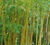 Die Bambus Zimmerpflanze ist eine robuste Topfpflanze: Info und Pflegetipps