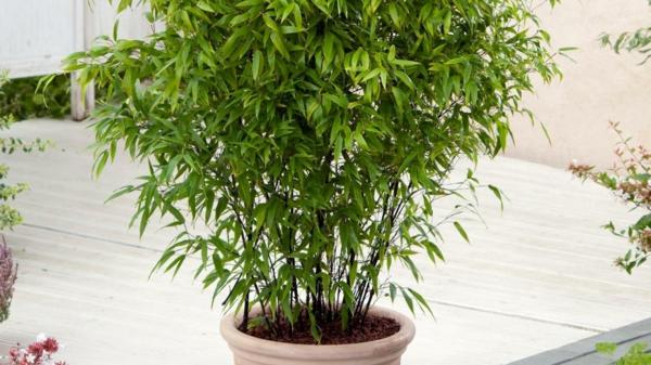 Bambus Zimmerpflanze Kübelpflanzen Pflege