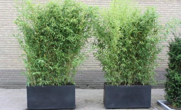 Bambus Zimmerpflanze Phyllostachys aurea Bambus im Kübel