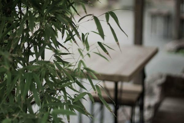 Bambus Zimmerpflanze Phyllostachys aurea Bambus pflegen