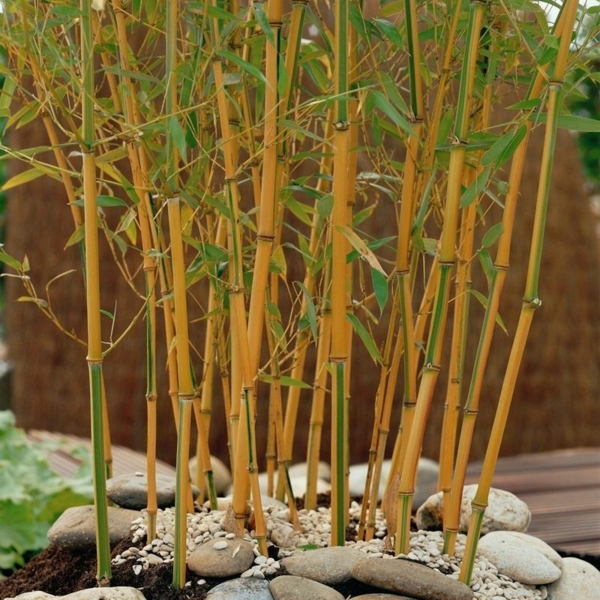 Bambus Zimmerpflanze Phyllostachys aurea Bambusarten pflegen