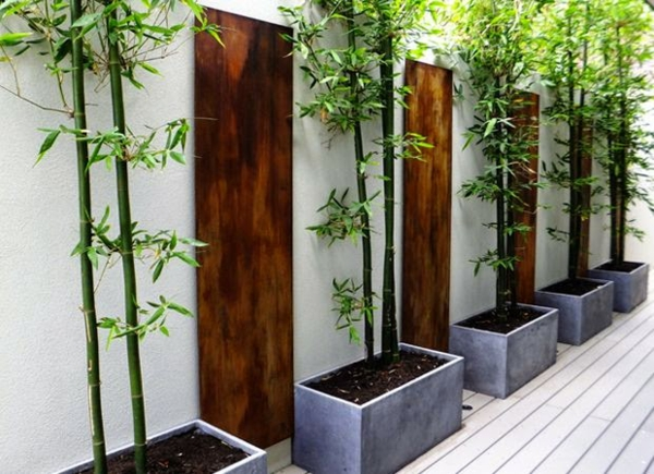 Bambus Zimmerpflanze Phyllostachys aurea Bambusarten