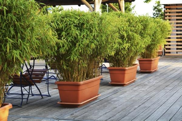 Bambus Zimmerpflanze Phyllostachys aurea Bambuspflanze