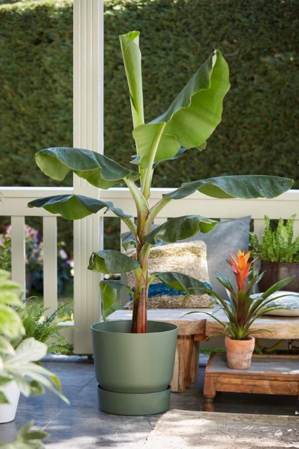 Bananenpflanze Pflege und Wissenswertes – so können Sie Exotik nach Hause bringen balkon patio pflanze ideen