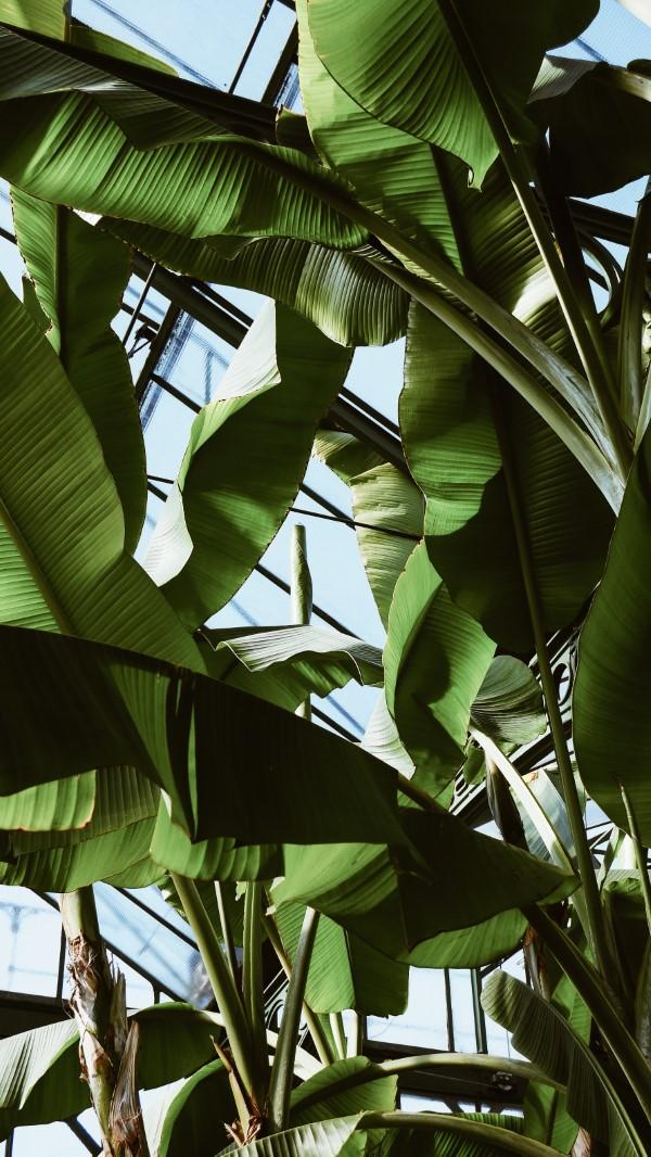 Bananenpflanze Pflege und Wissenswertes – so können Sie Exotik nach Hause bringen banane große blätter gewächshaus