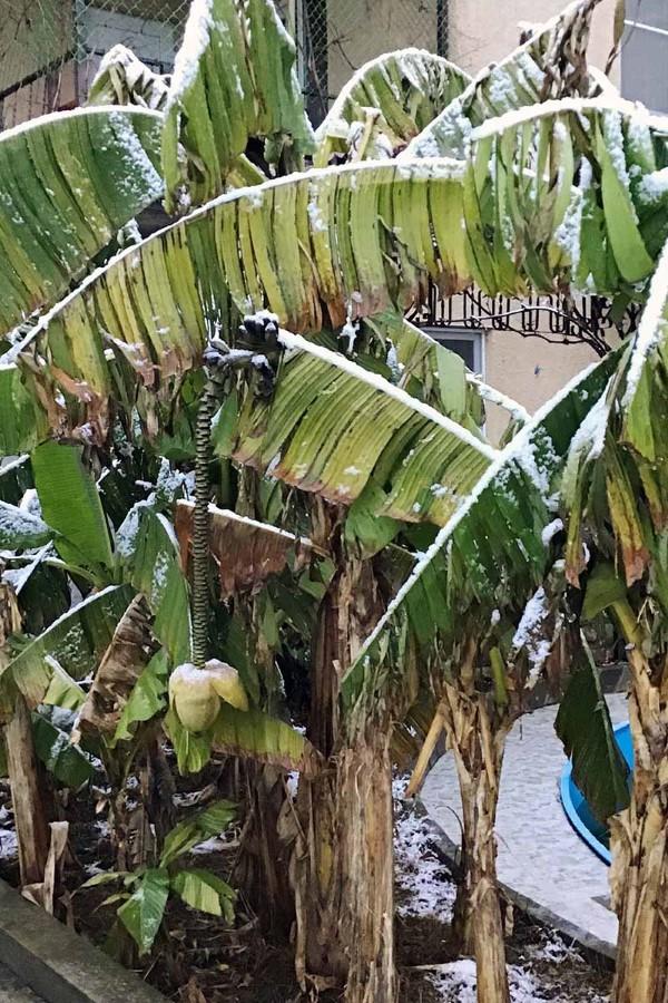 Bananenpflanze Pflege und Wissenswertes – so können Sie Exotik nach Hause bringen banane im winter
