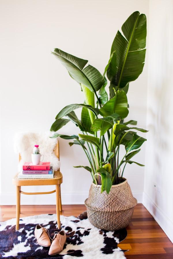Bananenpflanze Pflege und Wissenswertes – so können Sie Exotik nach Hause bringen banane zu hause trend