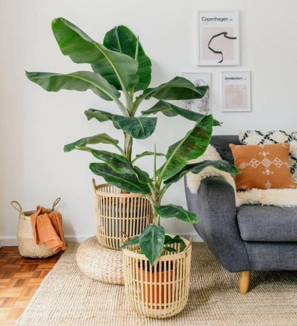 Bananenpflanze Pflege und Wissenswertes – so können Sie Exotik nach Hause bringen zimmerpflanze banane zwerg