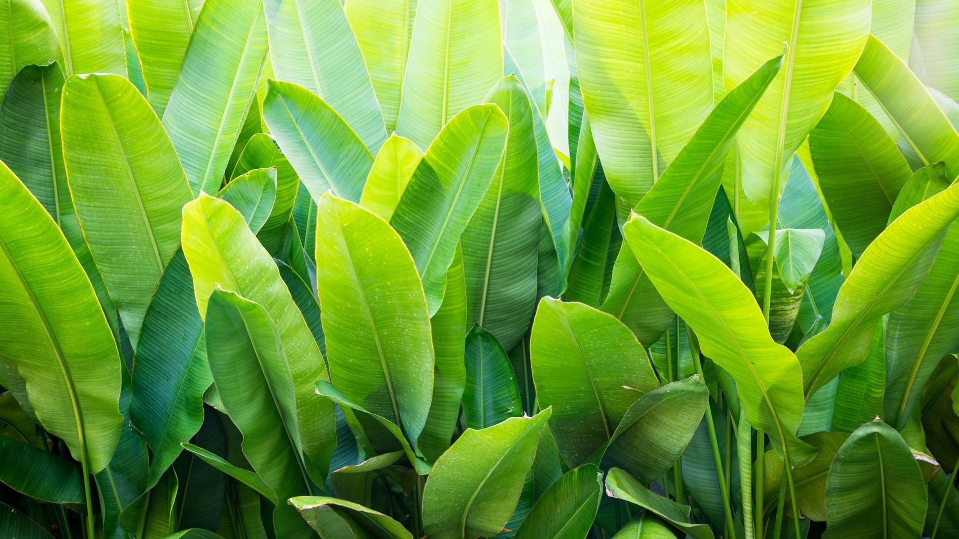 Bananenpflanze-Pflege-Tipps-und-Wissenswertes-so-k-nnen-Sie-Exotik-nach-Hause-bringen