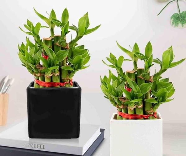 Was-f-r-eine-Zimmerpflanze-ist-der-Gl-cksbambus-und-wie-sollten-Sie-ihn-pflegen-