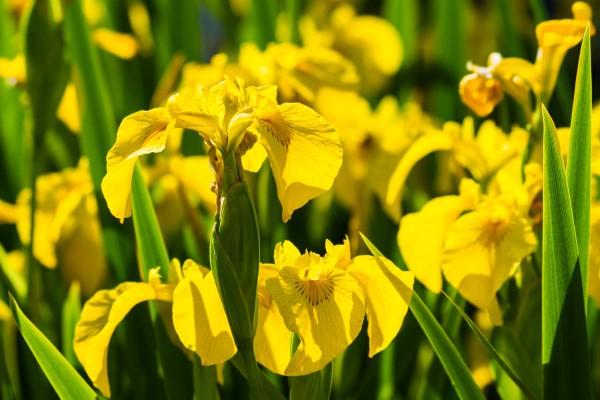 Gelbe Frühlingsblumen für Garten und Balkon – sonnige Arten und Pflegetipps Iris pseudacorus gelb