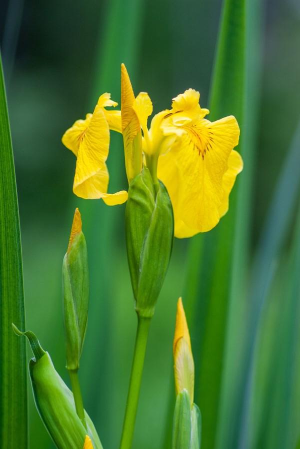Gelbe Frühlingsblumen für Garten und Balkon – sonnige Arten und Pflegetipps Iris pseudacorus