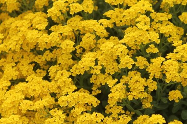 Gelbe Frühlingsblumen für Garten und Balkon – sonnige Arten und Pflegetipps felsen steinkraut garten