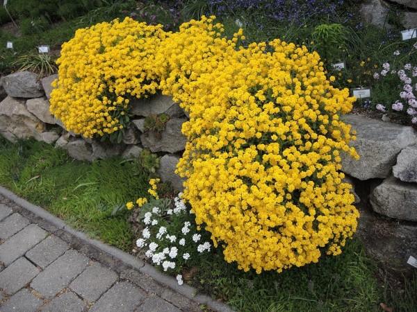 Gelbe Frühlingsblumen für Garten und Balkon – sonnige Arten und Pflegetipps felsen steinkraut gelb