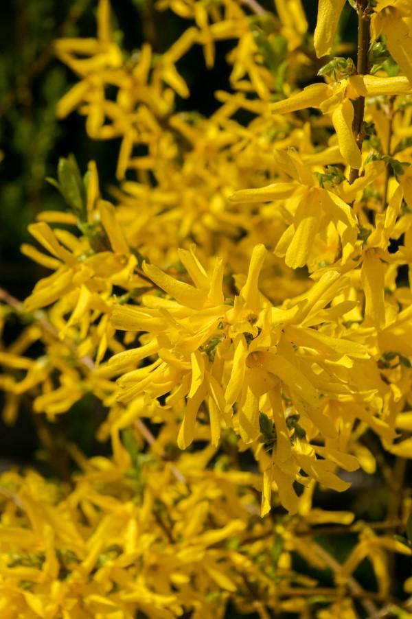Gelbe Frühlingsblumen für Garten und Balkon – sonnige Arten und Pflegetipps frühlingsboten Forsythien