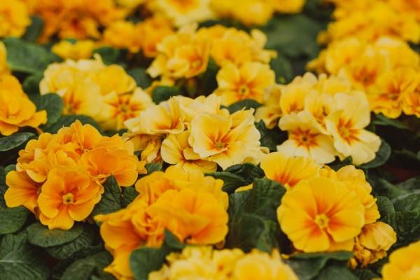 Gelbe Frühlingsblumen für Garten und Balkon – sonnige Arten und Pflegetipps gelbe primeln schön