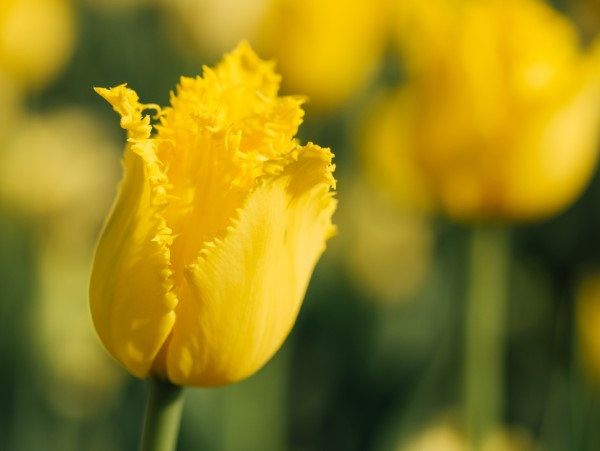 Gelbe Frühlingsblumen für Garten und Balkon – sonnige Arten und Pflegetipps gelbe tulpen arten