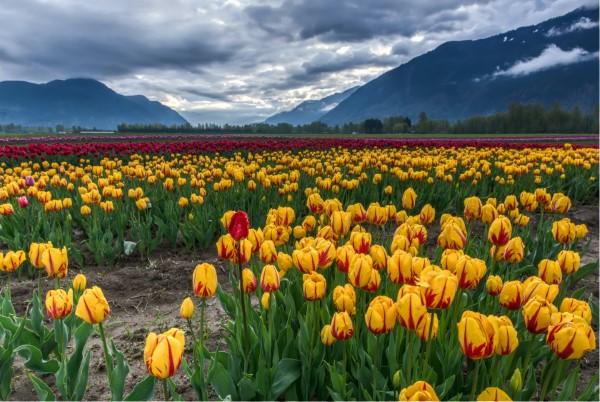 Gelbe Frühlingsblumen für Garten und Balkon – sonnige Arten und Pflegetipps gelbe tulpen wiese