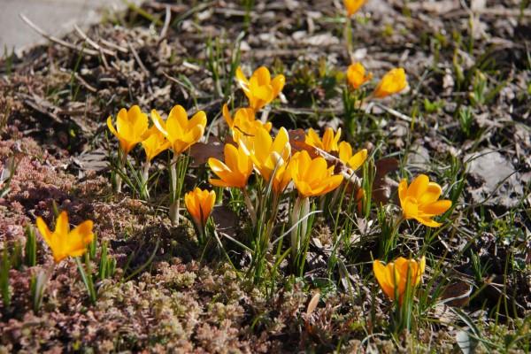 Gelbe Frühlingsblumen für Garten und Balkon – sonnige Arten und Pflegetipps gelber krokus garten