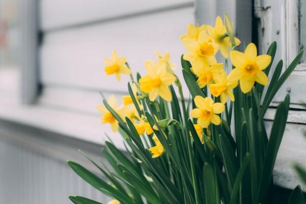 Gelbe Frühlingsblumen für Garten und Balkon – sonnige Arten und Pflegetipps harzissen gelb in topf