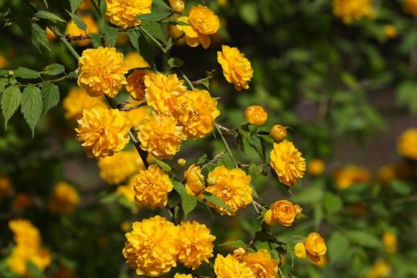Gelbe Frühlingsblumen für Garten und Balkon – sonnige Arten und Pflegetipps japanische rose blüten