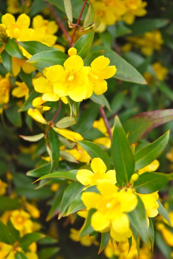 Gelbe Frühlingsblumen für Garten und Balkon – sonnige Arten und Pflegetipps jessamine blumen art