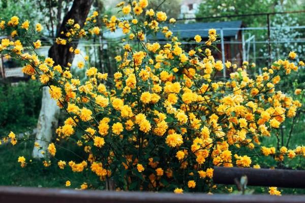 Gelbe Frühlingsblumen für Garten und Balkon – sonnige Arten und Pflegetipps kerria japonica rosengewächse