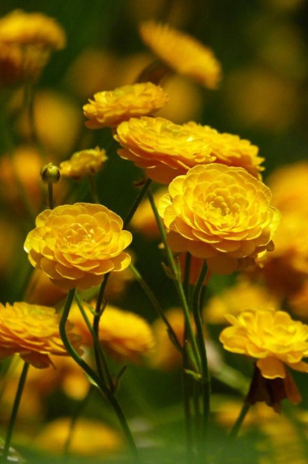Gelbe Frühlingsblumen für Garten und Balkon – sonnige Arten und Pflegetipps ranunculus im garten