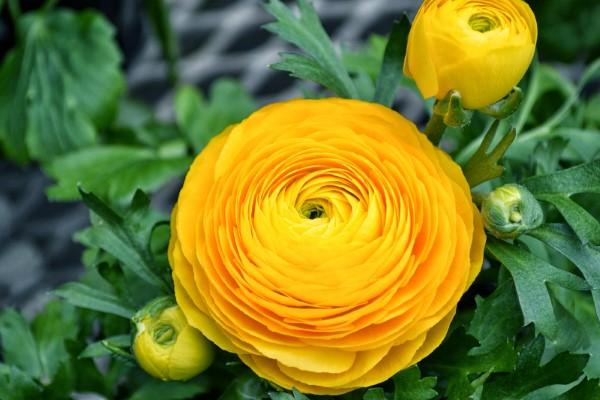 Gelbe Frühlingsblumen für Garten und Balkon – sonnige Arten und Pflegetipps ranunkeln im garten und topf