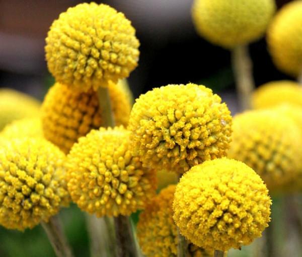 Gelbe Frühlingsblumen für Garten und Balkon – sonnige Arten und Pflegetipps trommelschläger blume Craspedia