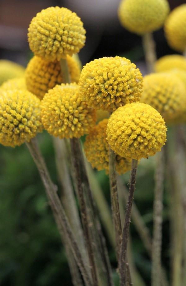 Gelbe Frühlingsblumen für Garten und Balkon – sonnige Arten und Pflegetipps trommelschläger lustig gelb