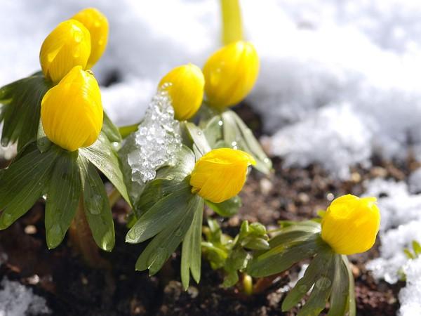 Gelbe Frühlingsblumen für Garten und Balkon – sonnige Arten und Pflegetipps winterlinge Eranthis