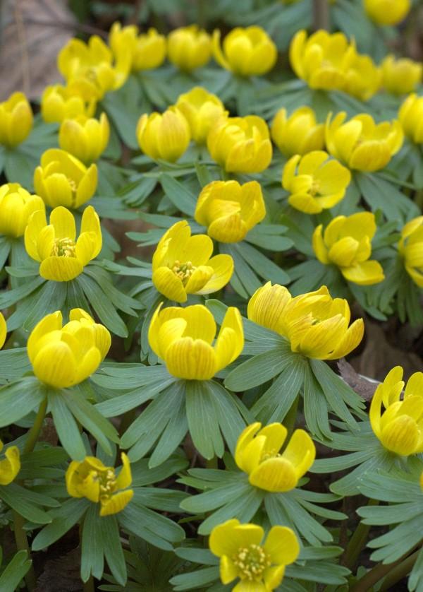 Gelbe Frühlingsblumen für Garten und Balkon – sonnige Arten und Pflegetipps winterlinge frühjahr frühlingsboten