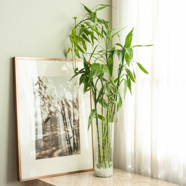 Glücksbambus Feng Shui Zimmerpflanze Dracena sanderiana