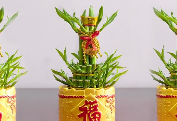 Glücksbambus Feng Shui Zimmerpflanze chinesische Kultur Bedeutung