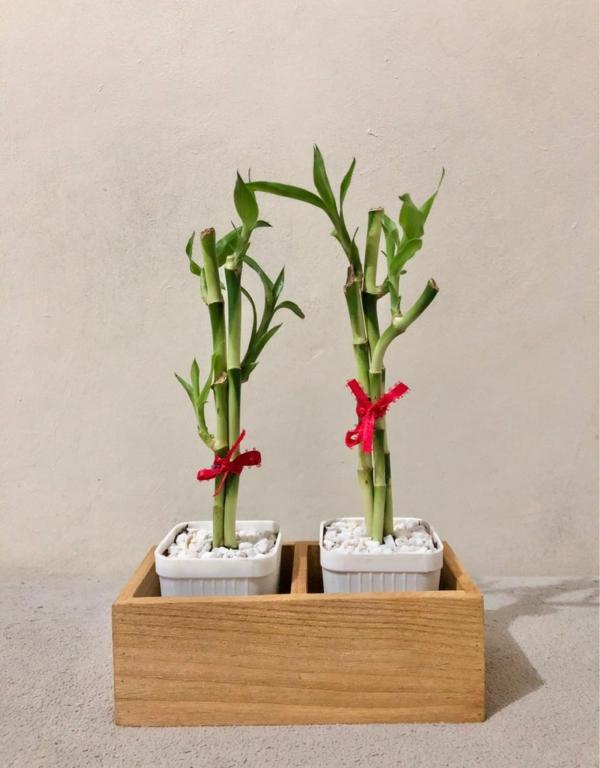 Glücksbambus Feng Shui Zimmerpflanze