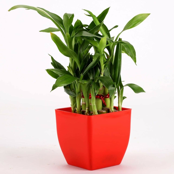 Glücksbambus Zimmerpflanze Dracena sanderiana Pflege Glücksbringer