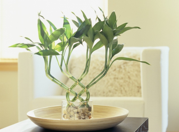 Glücksbambus Zimmerpflanze Dracena sanderiana