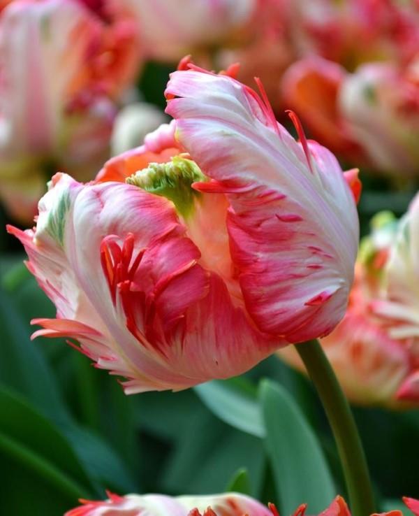 Papagei Tulpen im Garten und Topf – Wissenswertes, Pflegetipps und Sorten Apricot Parrot tulpe