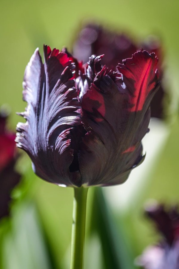 Papagei Tulpen im Garten und Topf – Wissenswertes, Pflegetipps und Sorten Black Parrot tulpe