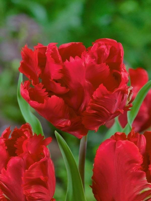 Papagei Tulpen im Garten und Topf – Wissenswertes, Pflegetipps und Sorten Erna Lindgreen rote parrot tulpen