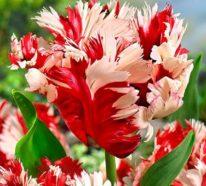 Papageien-Tulpen im Garten und Topf – Wissenswertes, Pflegetipps und Sorten