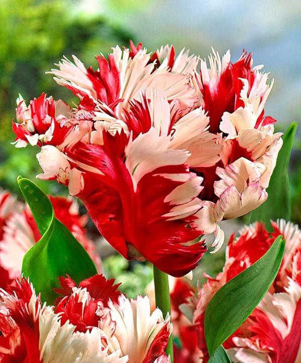 Papagei Tulpen im Garten und Topf – Wissenswertes, Pflegetipps und Sorten Estella Rijnveld tulpen