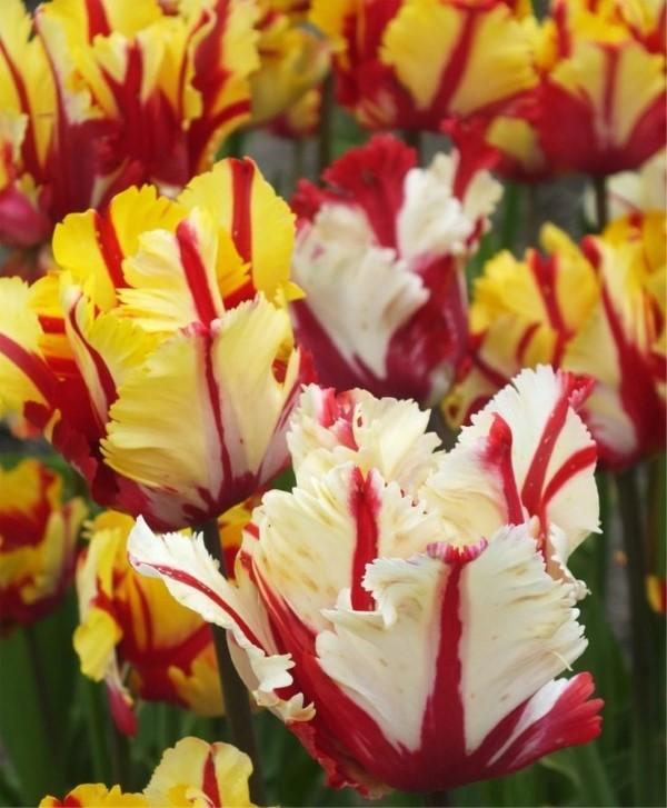 Papagei Tulpen im Garten und Topf – Wissenswertes, Pflegetipps und Sorten Flaming parrot tulpe