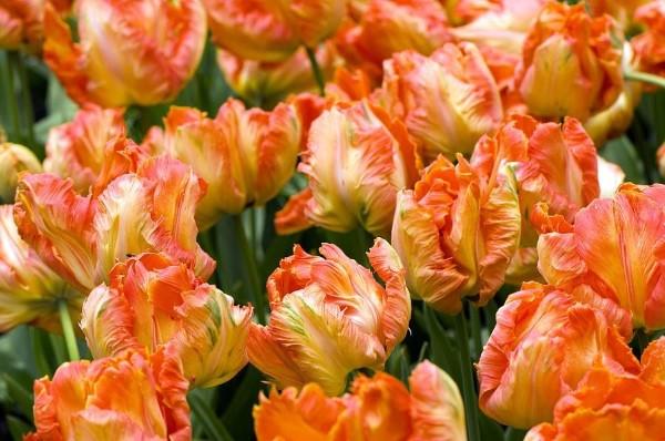 Papagei Tulpen im Garten und Topf – Wissenswertes, Pflegetipps und Sorten Professor Rontgen tulpen