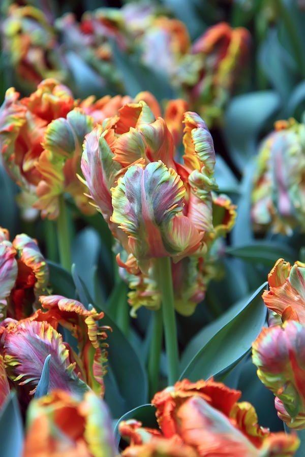 Papagei Tulpen im Garten und Topf – Wissenswertes, Pflegetipps und Sorten Rainbow parrot tulpe