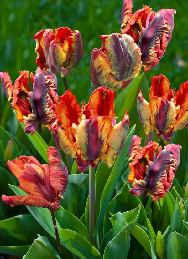 Papagei Tulpen im Garten und Topf – Wissenswertes, Pflegetipps und Sorten Rococo papagei tulpe