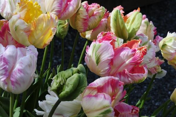 Papagei Tulpen im Garten und Topf – Wissenswertes, Pflegetipps und Sorten bunte liebevolle blumen auf dem balkon