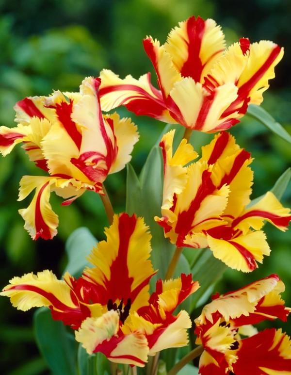 Papagei Tulpen im Garten und Topf – Wissenswertes, Pflegetipps und Sorten flammen tulpen gelb rot